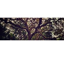 Beautiful oak trees in the park Photographic Print