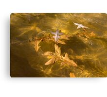 Gold Fall - Oak Leaves Floating in a Fountain Canvas Print