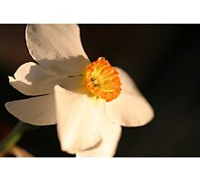 daffodil 1 by bs hilton Photographic Print