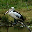 Peaceful Pelican by Jenelle  Irvine
