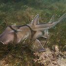Port Jackson shark - Port Noarlunga, South Australia by Dan & Emma Monceaux