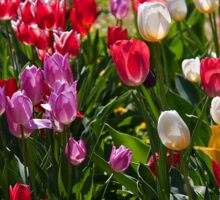 Tulips in my garden. Sticker