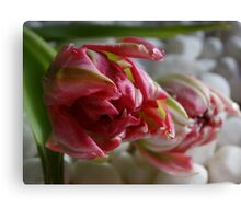 Tulip on pebbles Canvas Print