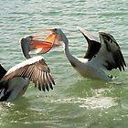 Pelican fight / Urunga NSW by cs-cookie