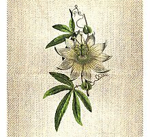Antique Botanical 2 Photographic Print