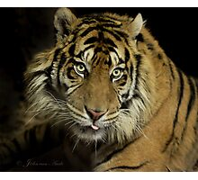 ......King of Cats ..  Photographic Print