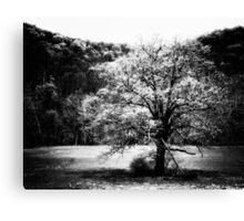 Black and White - old tree (2010) Canvas Print