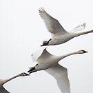 Trumpeter Swan Trio by Deb Fedeler