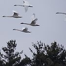 Trumpeter Swans Flying Over Trees by Deb Fedeler