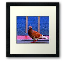NYC Red Eyed Pigeon Framed Print