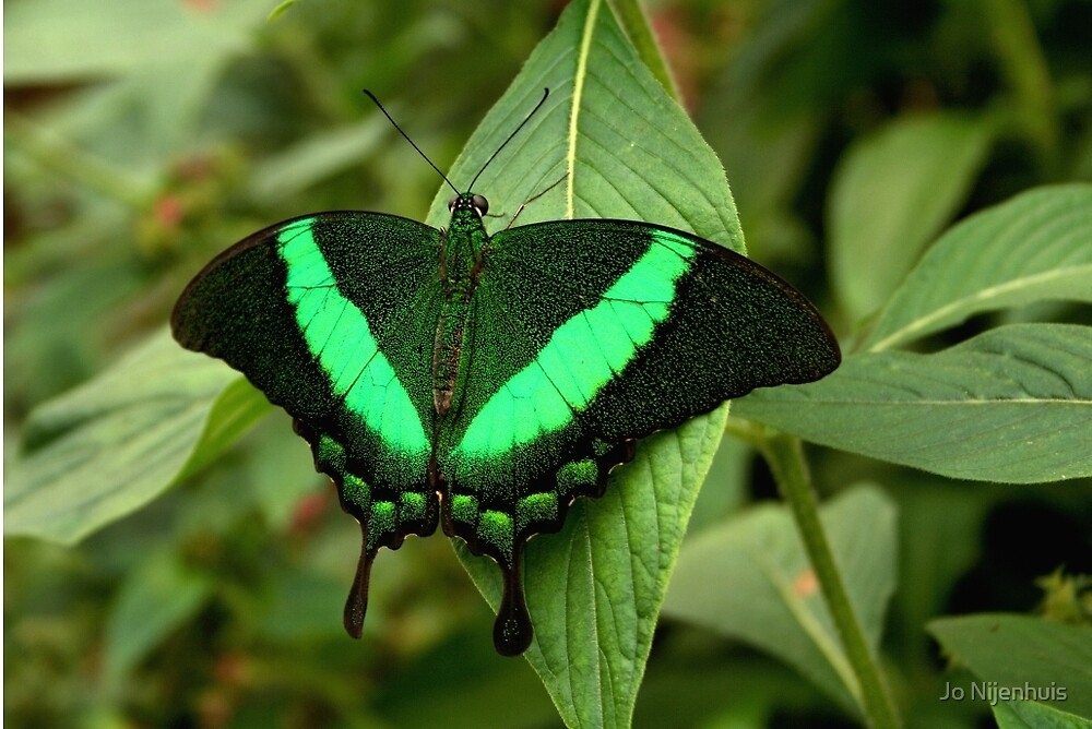 Emerald Swallowtail by Jo Nijenhuis