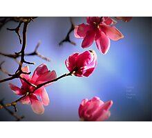 """ Spring Magnolia Flowers "" Photographic Print"