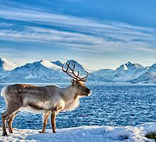 Reindeer in snow covered landscape at sea by travel4pictures