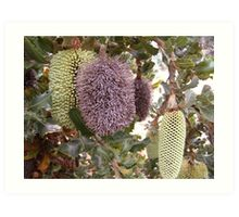Three stages of the Banksia Caleyi flower. Adelaide Hills.  Art Print