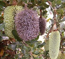 Three stages of the Banksia Caleyi flower. Adelaide Hills.  by Rita Blom