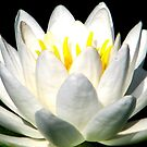 The Heart Of A Lotus by AngieDavies