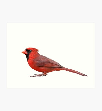 Northern Cardinal Isolated on White Background Art Print