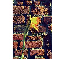 Canna indica #3 Photographic Print