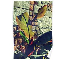 Canna indica #4 Poster