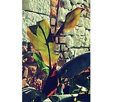 Canna indica #4 Photographic Print