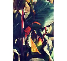 Canna indica #5 Photographic Print