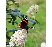 RED ADMIRAL BUTTERFLY ON WHITE BUDDLEIA  Photographic Print