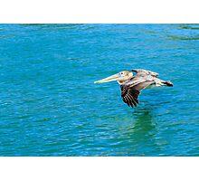 Brown Pelican Skimming Water Photographic Print