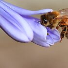 Bee on Agapanthus by Roachelle Playle