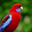 Rosella - NZ by AndreaEL
