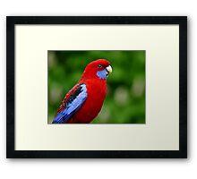 Rosella - NZ Framed Print