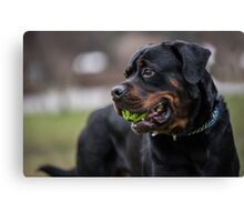 Close-up view of black Rottweiler  Canvas Print
