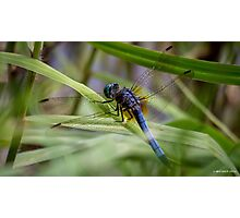 Dragonfly in the Grass Photographic Print