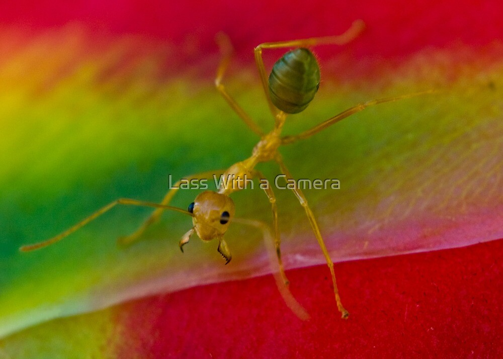 Ant by Lass With a Camera