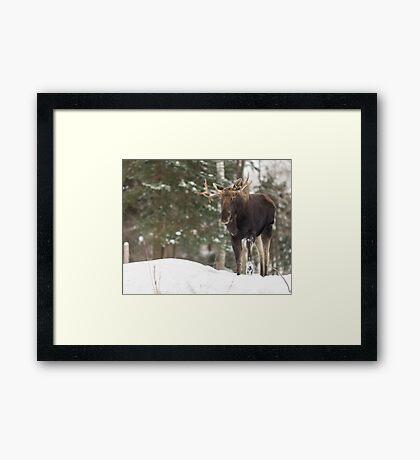 Bull moose in winter Framed Print
