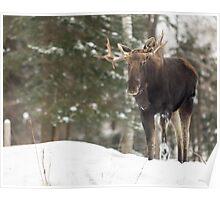 Bull moose in winter Poster