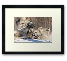 Timber wolves playing in winter Framed Print