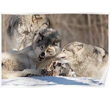 Timber wolves playing in winter Poster