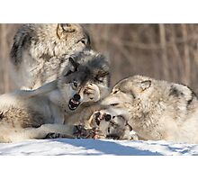 Timber wolves playing in winter Photographic Print