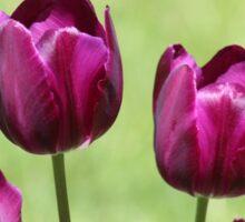 Fuschia Tulips Sticker