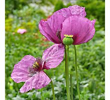 Violet Poppies / Purple Poppies Photographic Print