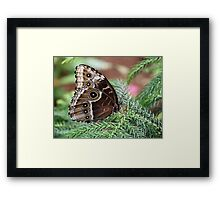 Blue Morpho on Evergreen Framed Print