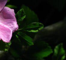 Wild Rose with Dark Background Sticker