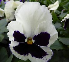 Pansy by Elaine Bawden