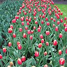 Two-Tone Tulips - Keukenhof Gardens by kathrynsgallery