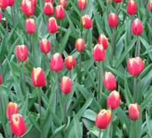 Two-Tone Tulips - Keukenhof Gardens Sticker