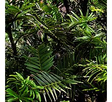Wollemi Pine, the 'living fossil' tree of Australia Photographic Print