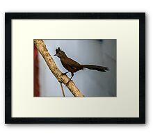 Baby Whipbird at iso 1600 Framed Print