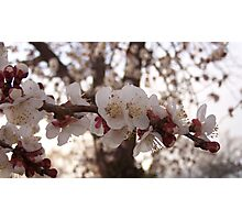Apricot tree blooms Photographic Print