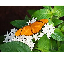 Dryas Iulia Butterfly Photographic Print