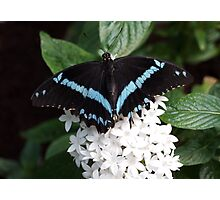 Black and Blue Swallowtail Photographic Print